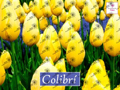 Poster COLIBRI