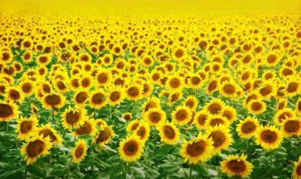 depositphotos_21333597-stock-photo-field-of-sunflowers