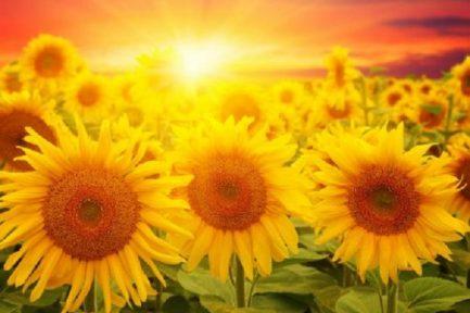 sunflowers-sun-600