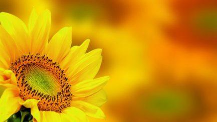 depositphotos_23364754-stock-photo-sunflower